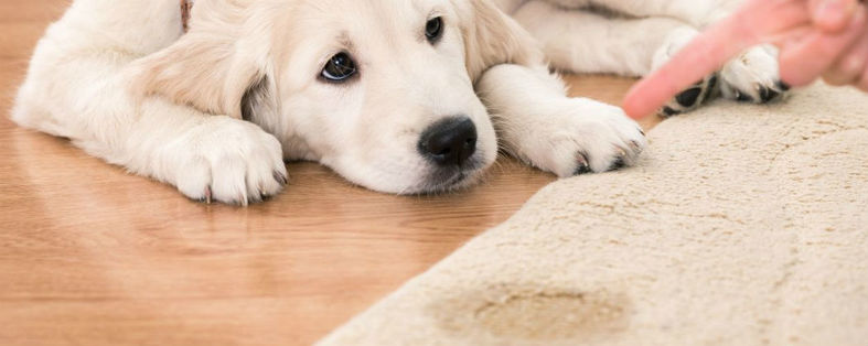 Cleaning Carpet Pet Stains
